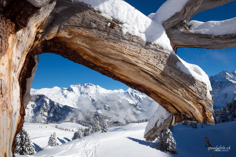 Arvenholz und Schnee