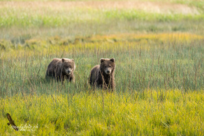Wild young cubs - Alaska Wildlife