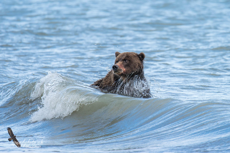 The swimm - Wildlife Alaska