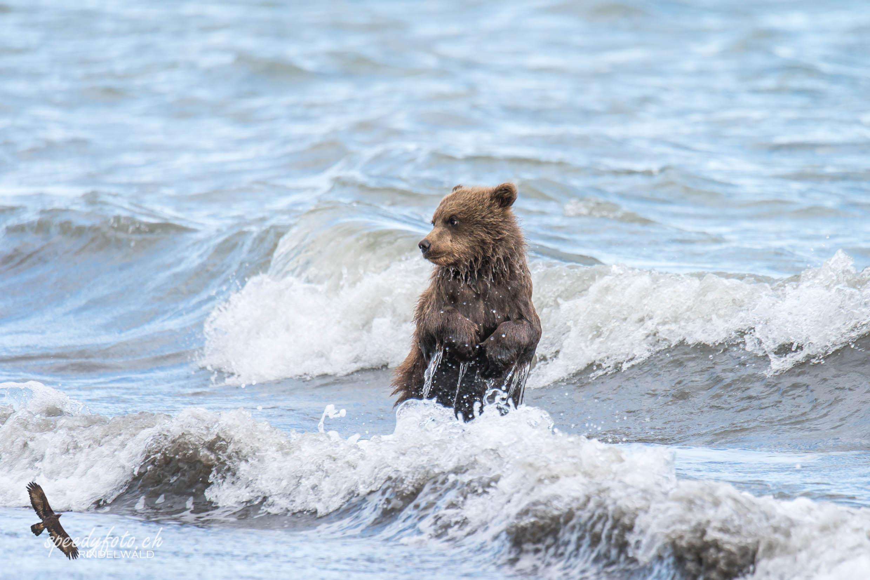 Bears - first swimm