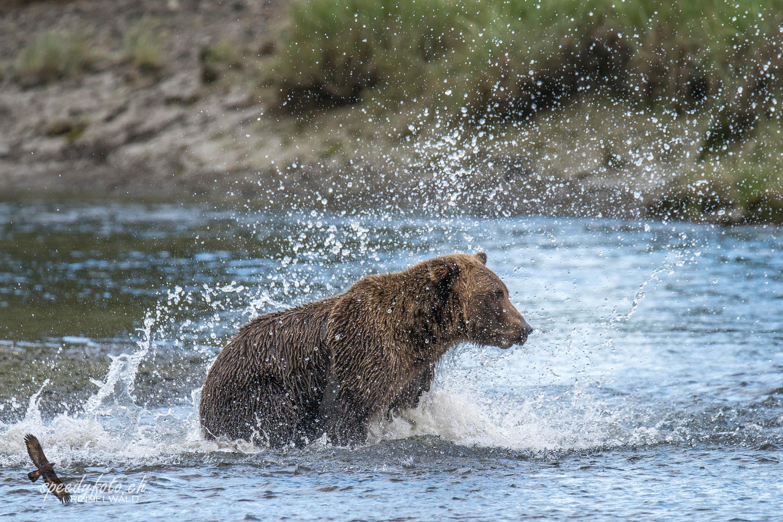 Bears - the splash