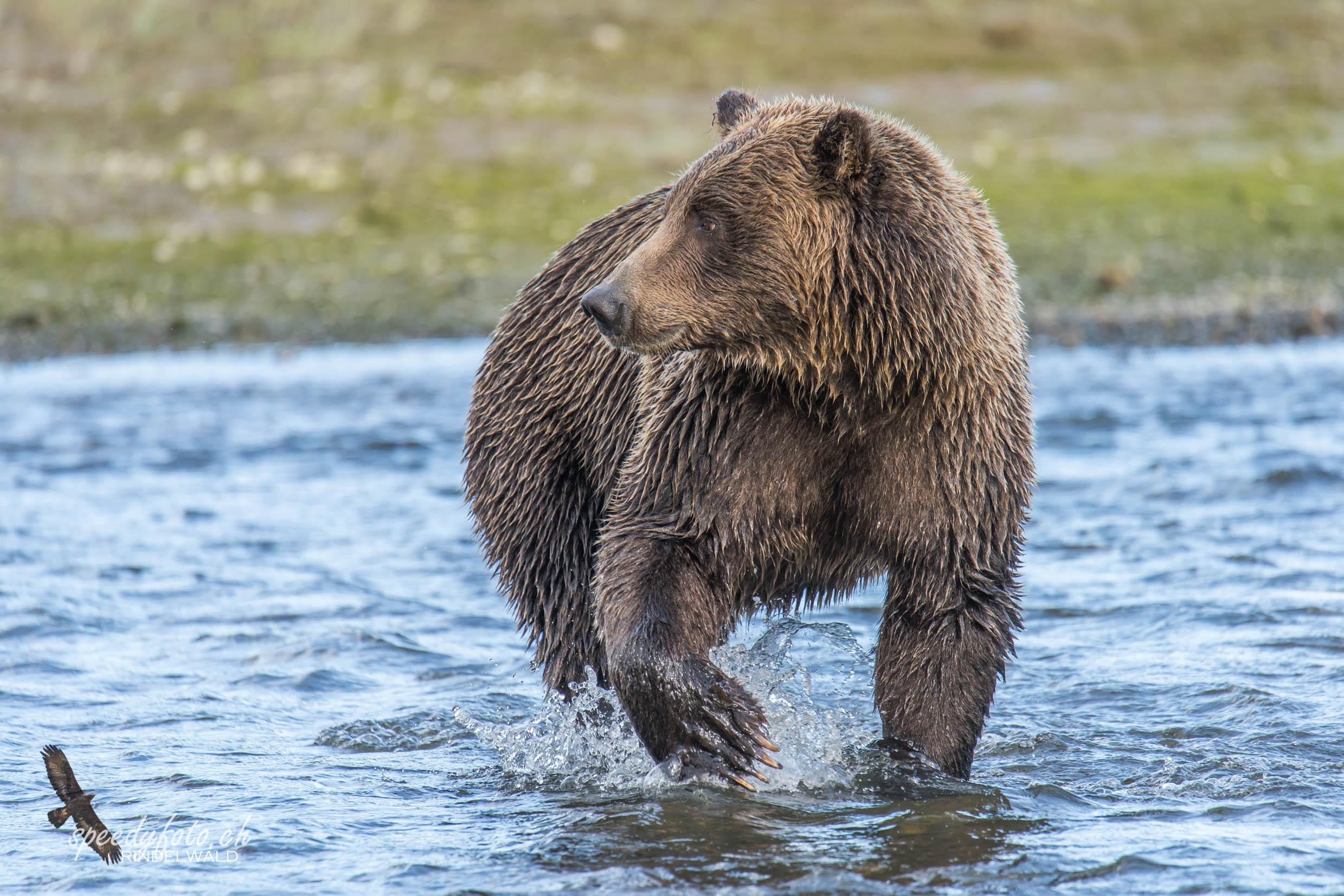 Bears - Salmon Fishing