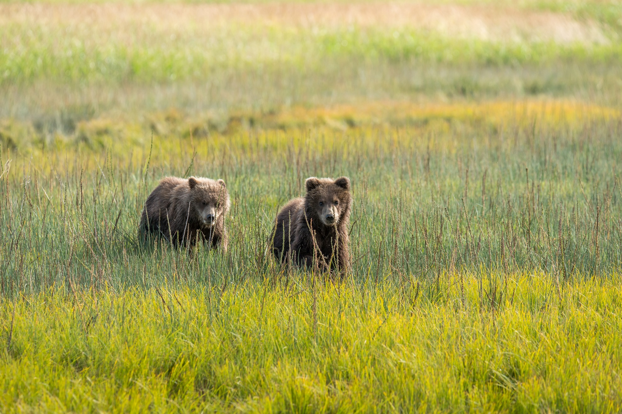 Bear Cubs - Wildlife Alaska