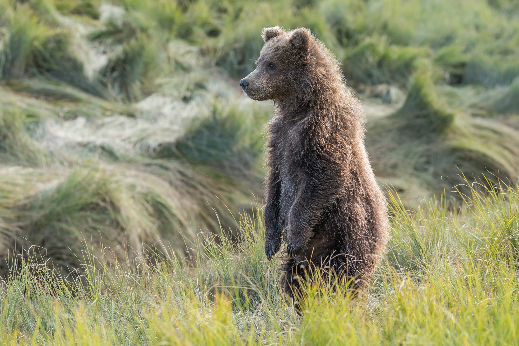 Young brown bear - Wildlife Alaska