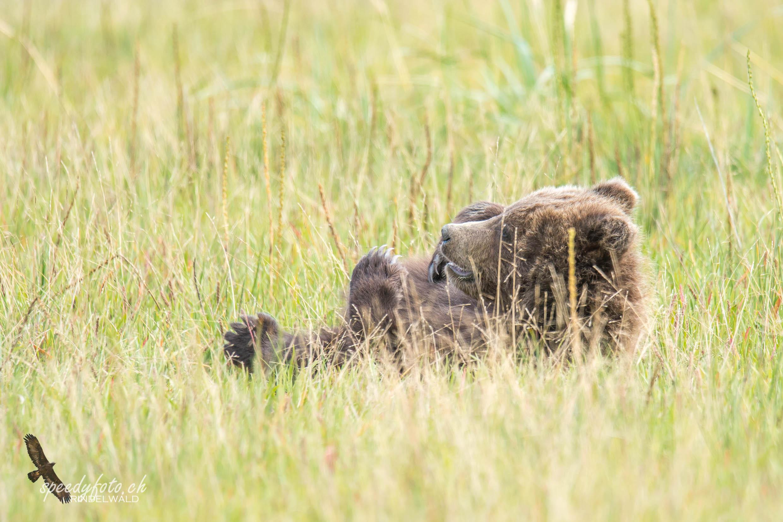Bears - relaxing cub