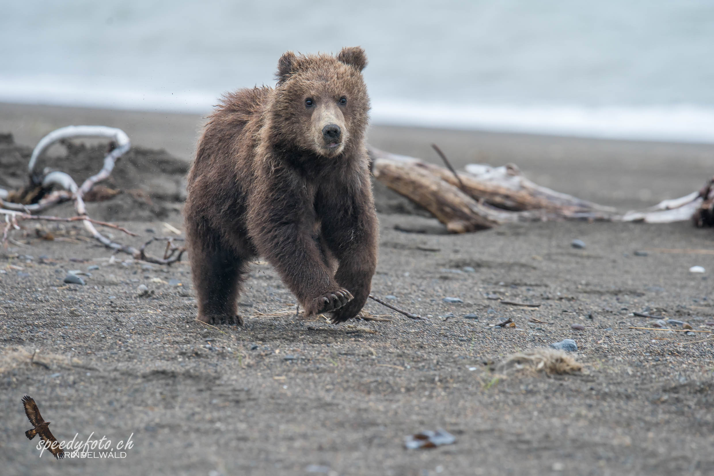 Bears - young cub