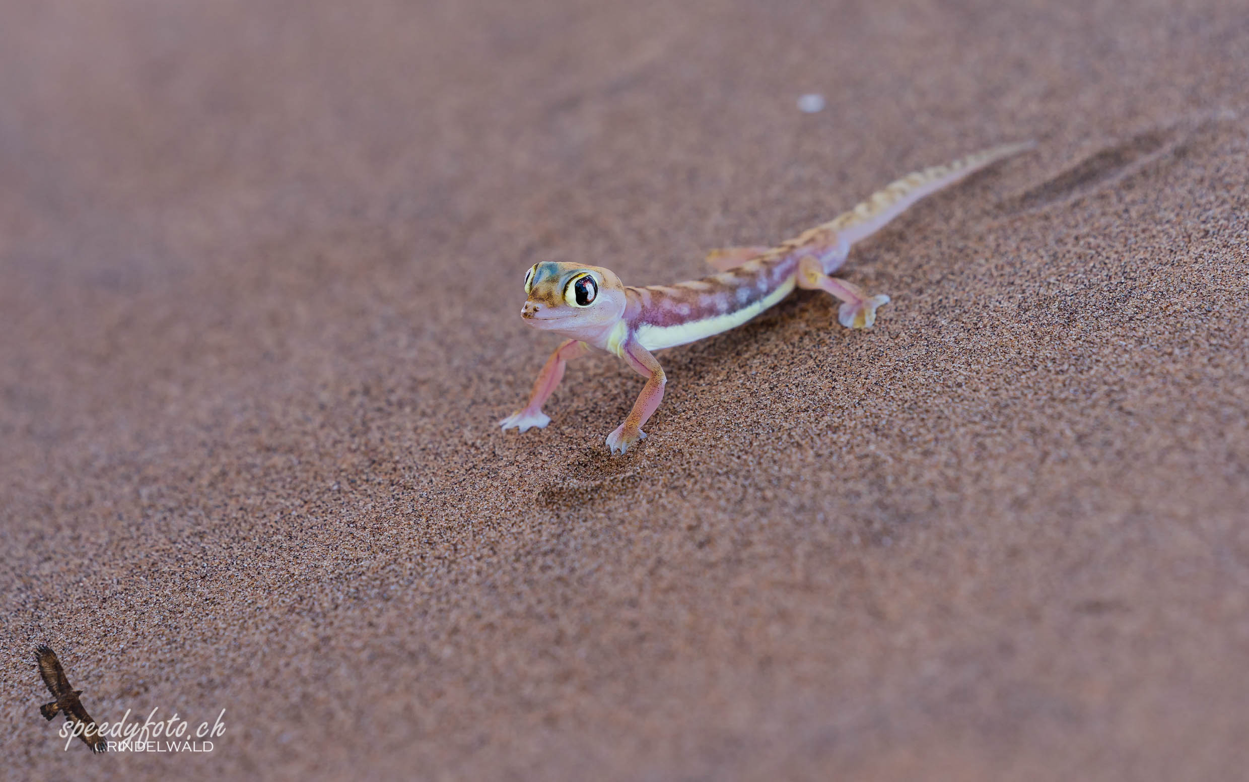 The Gecko in the Desert