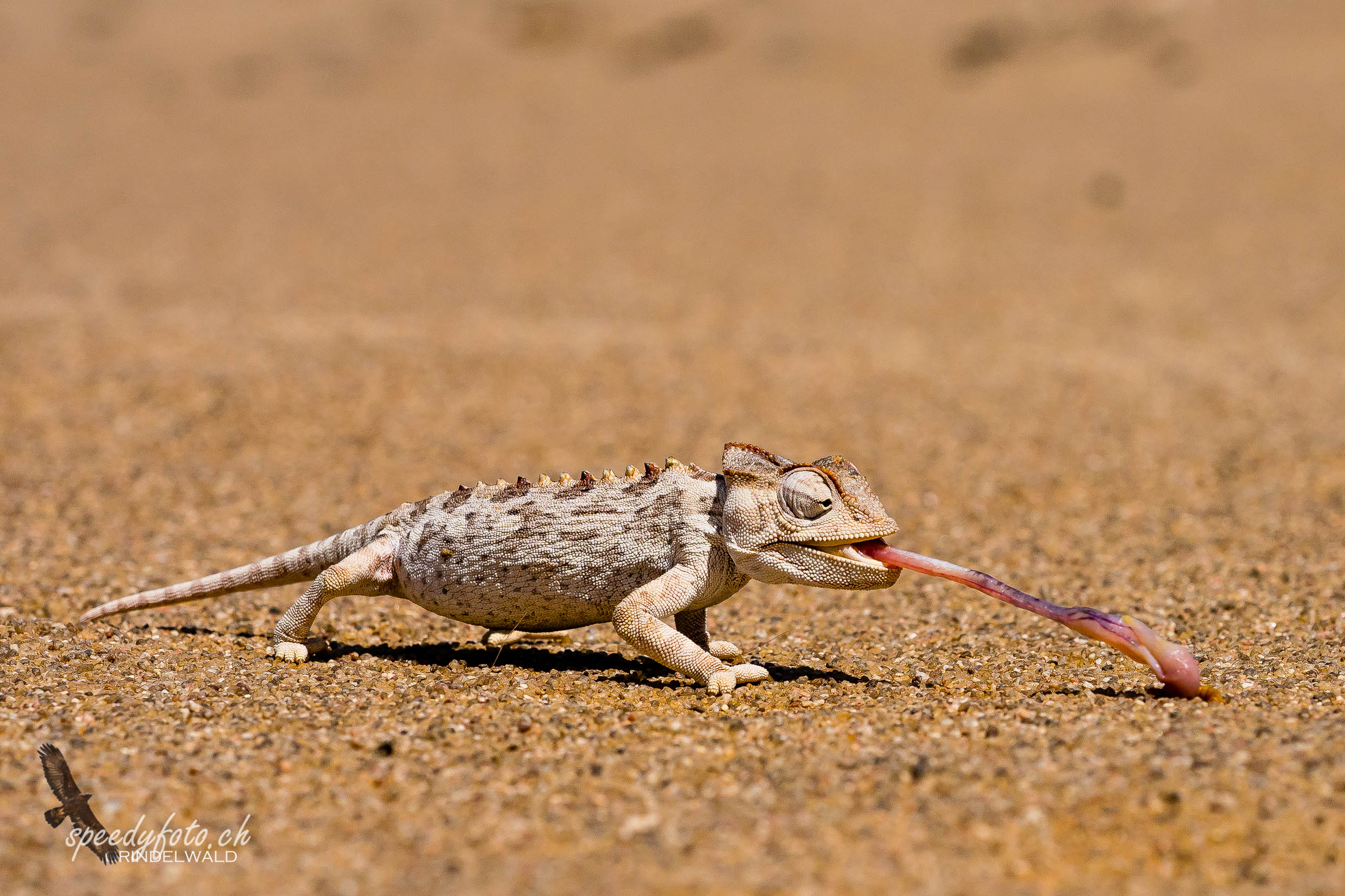The Chamäeleon in the Desert