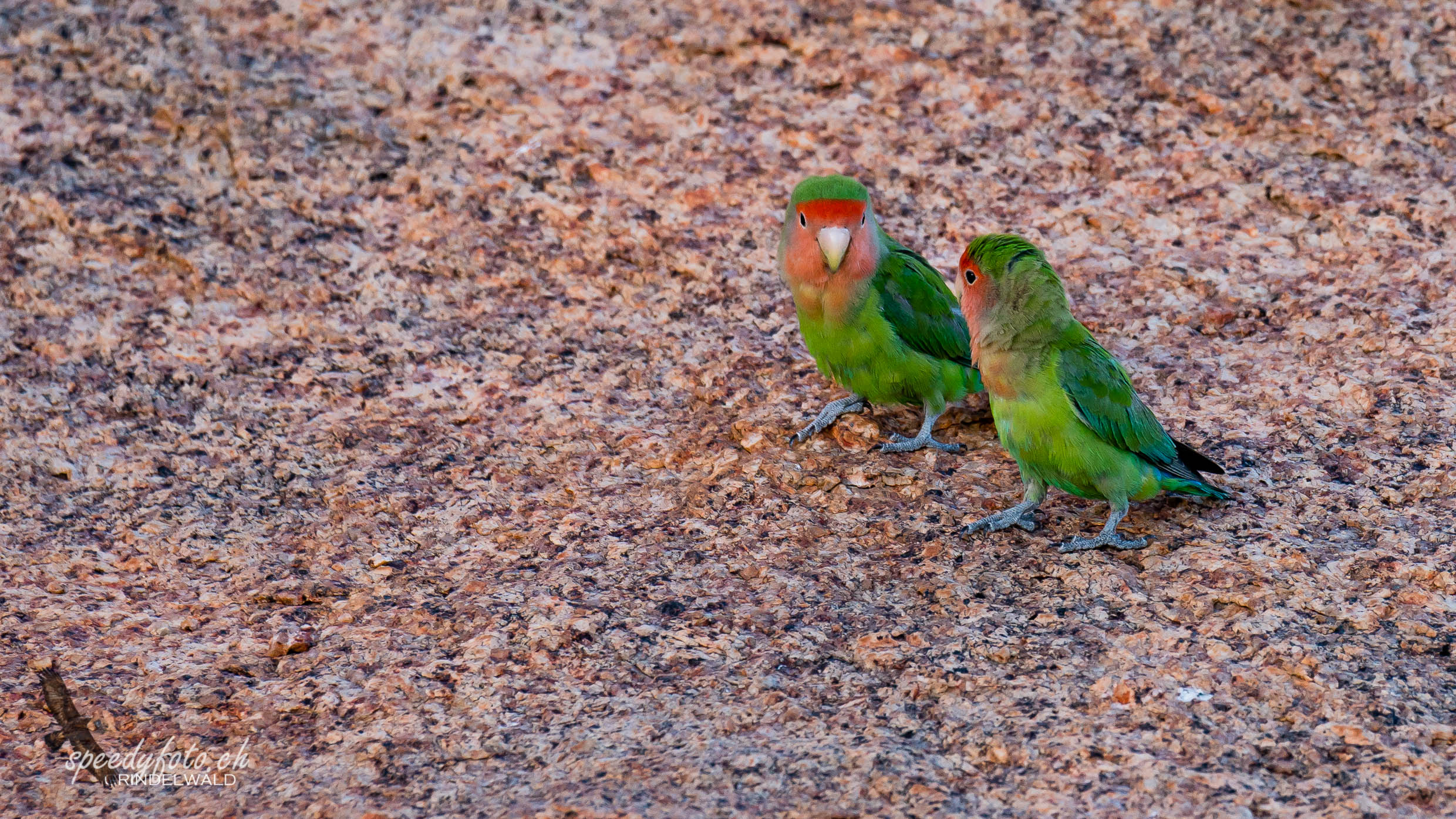 Beautiful Lovebirds -