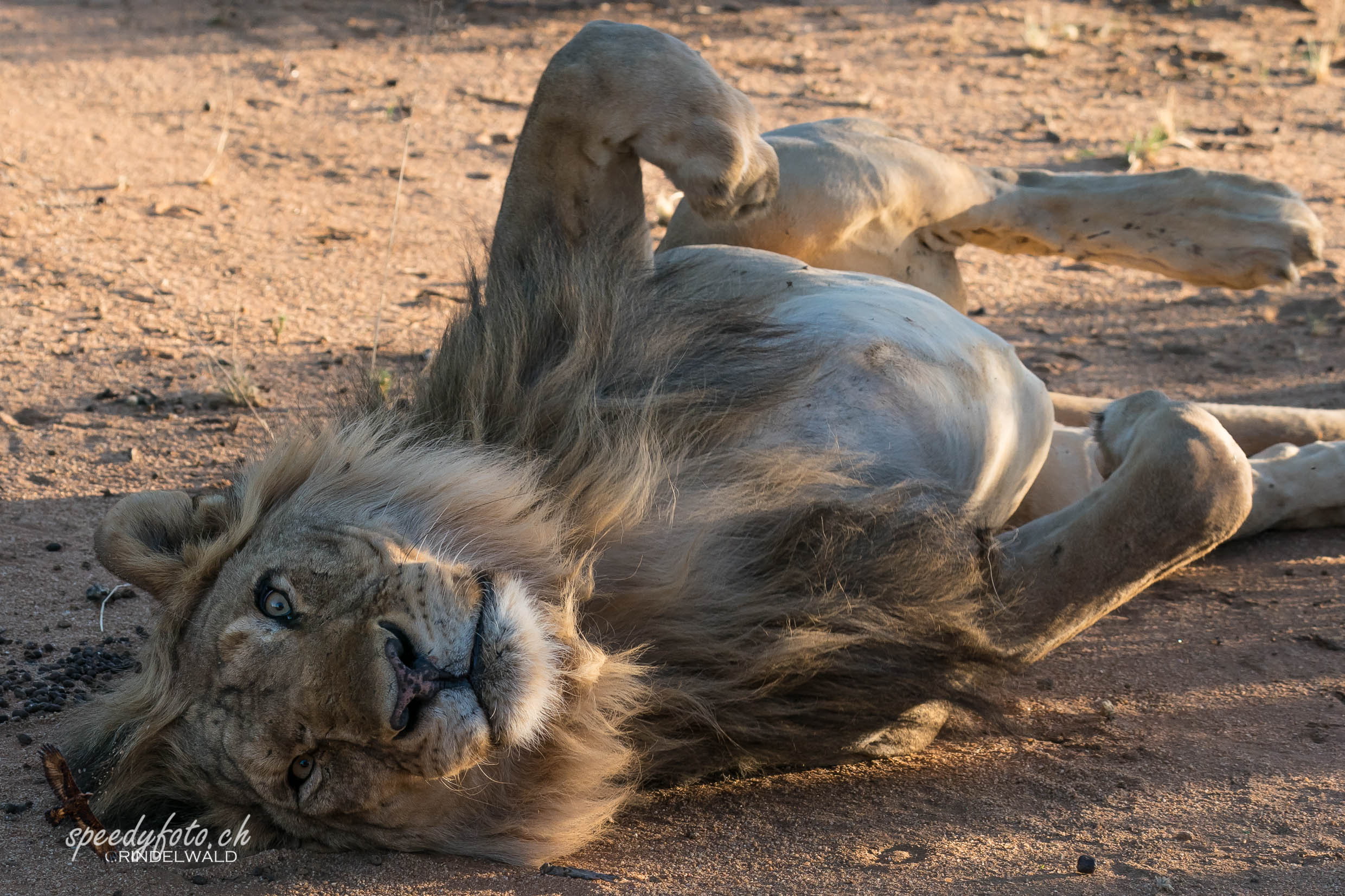 After lunch - Lion