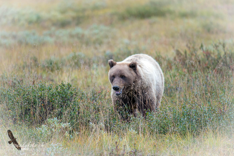 Denali - Grizzly