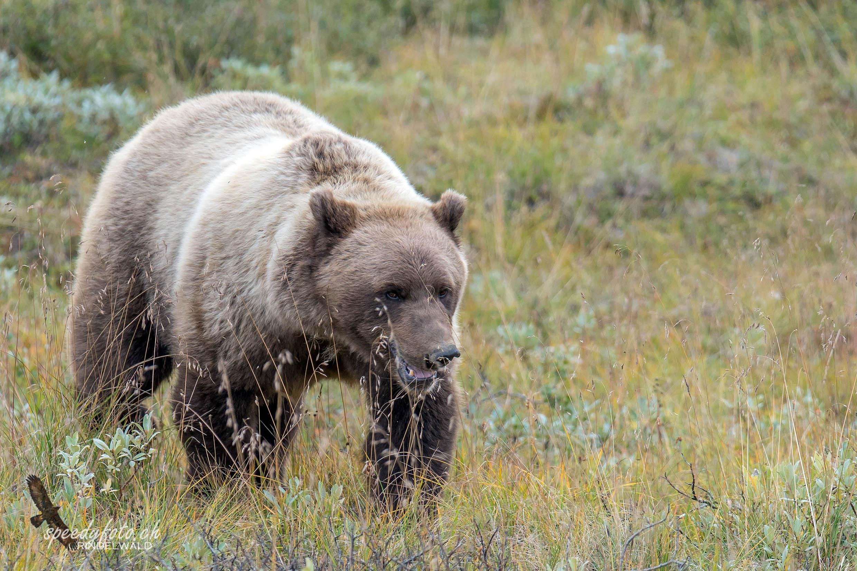 Denali Grizzly