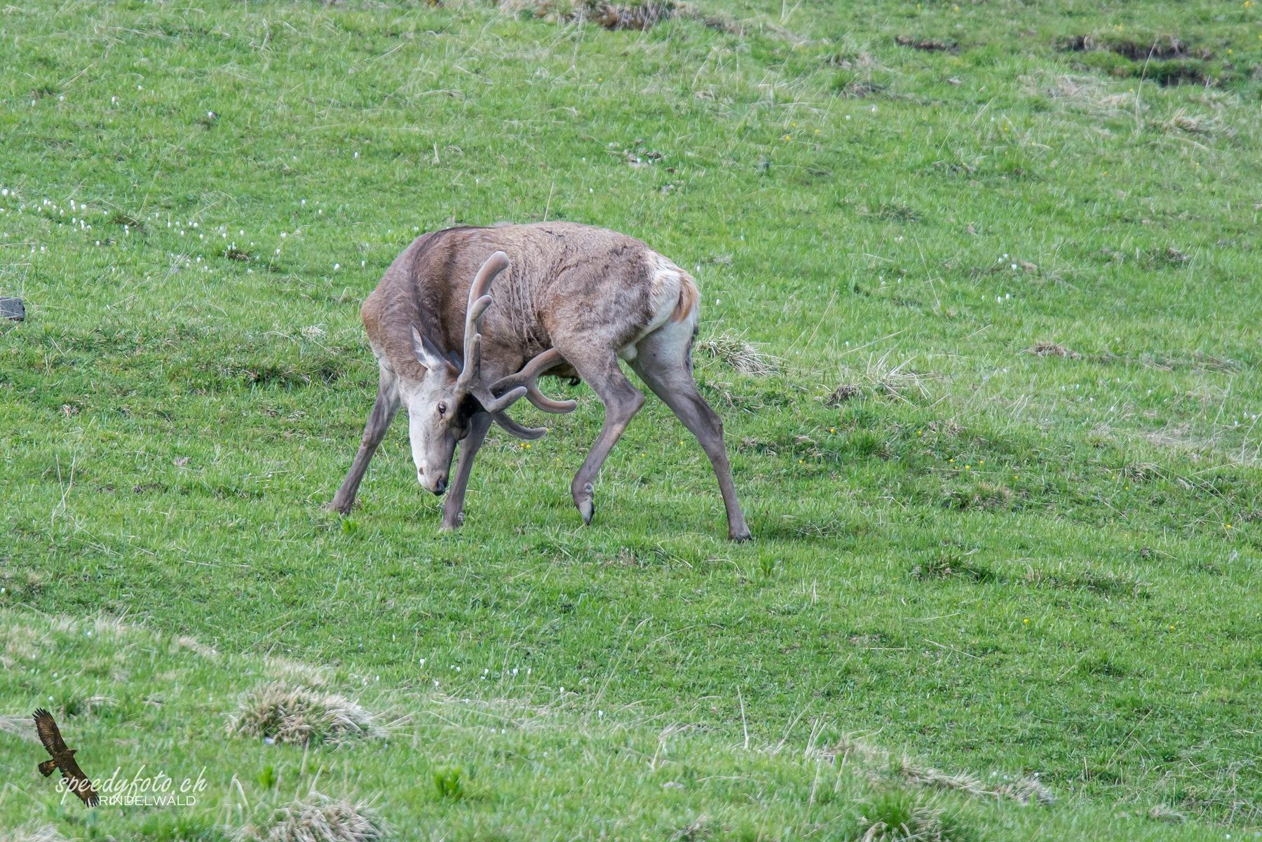 Hirsche Wildlife Grindelwald
