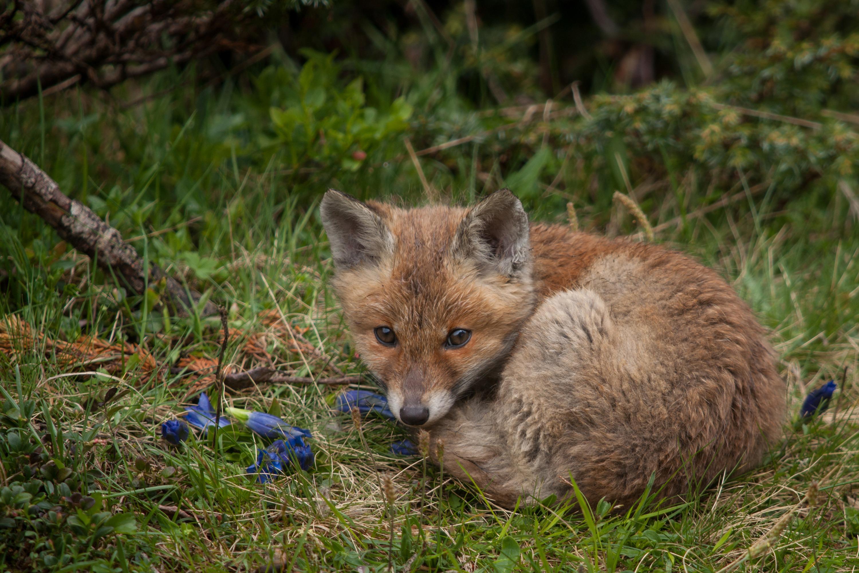 Relaxing young redfox
