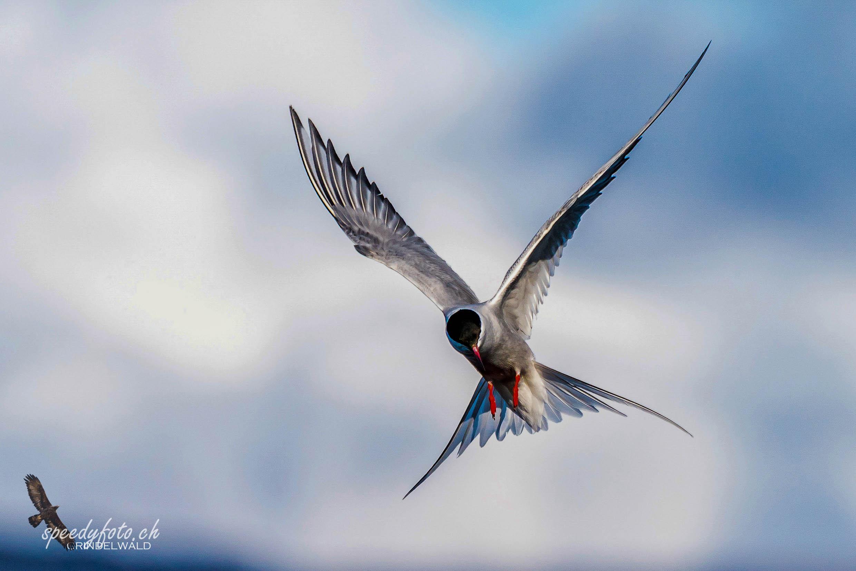 Küstenseeschwalbe, Arctic Tern
