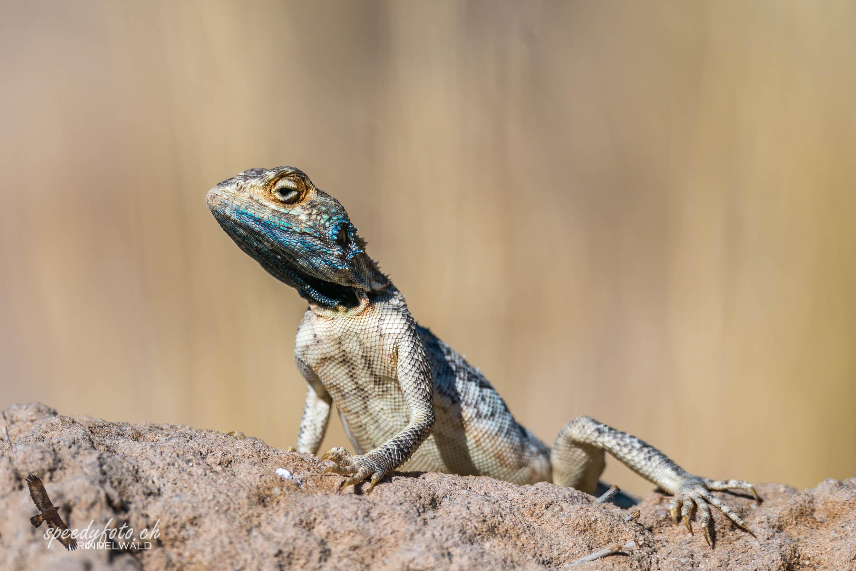 Kalahari Gecko