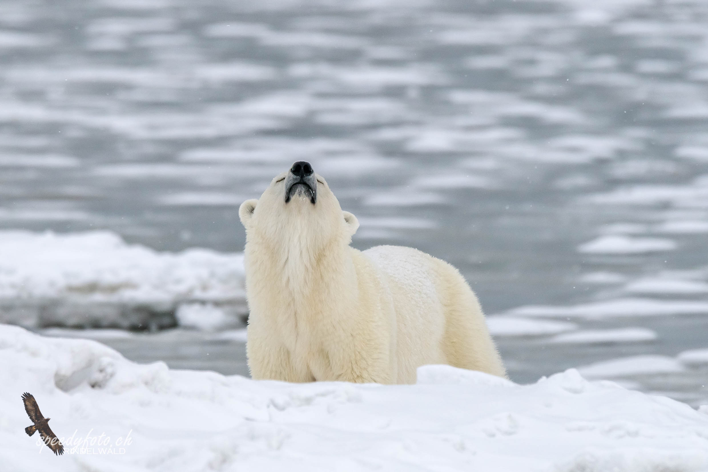 Polar Bear Wildlife