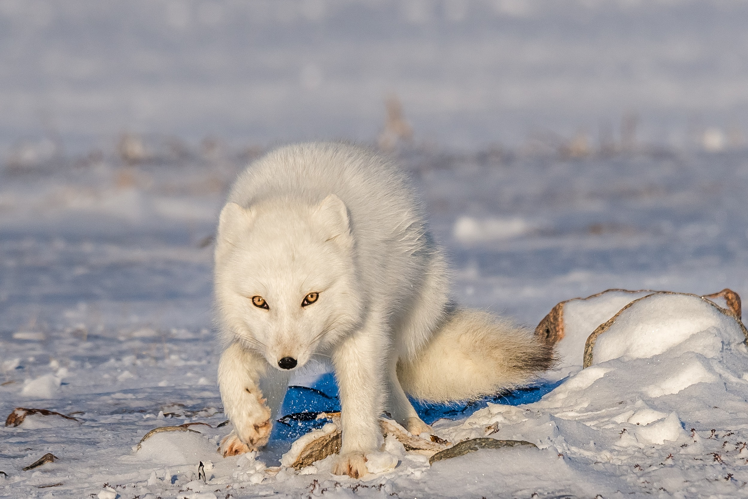 Arctic Polar Fox