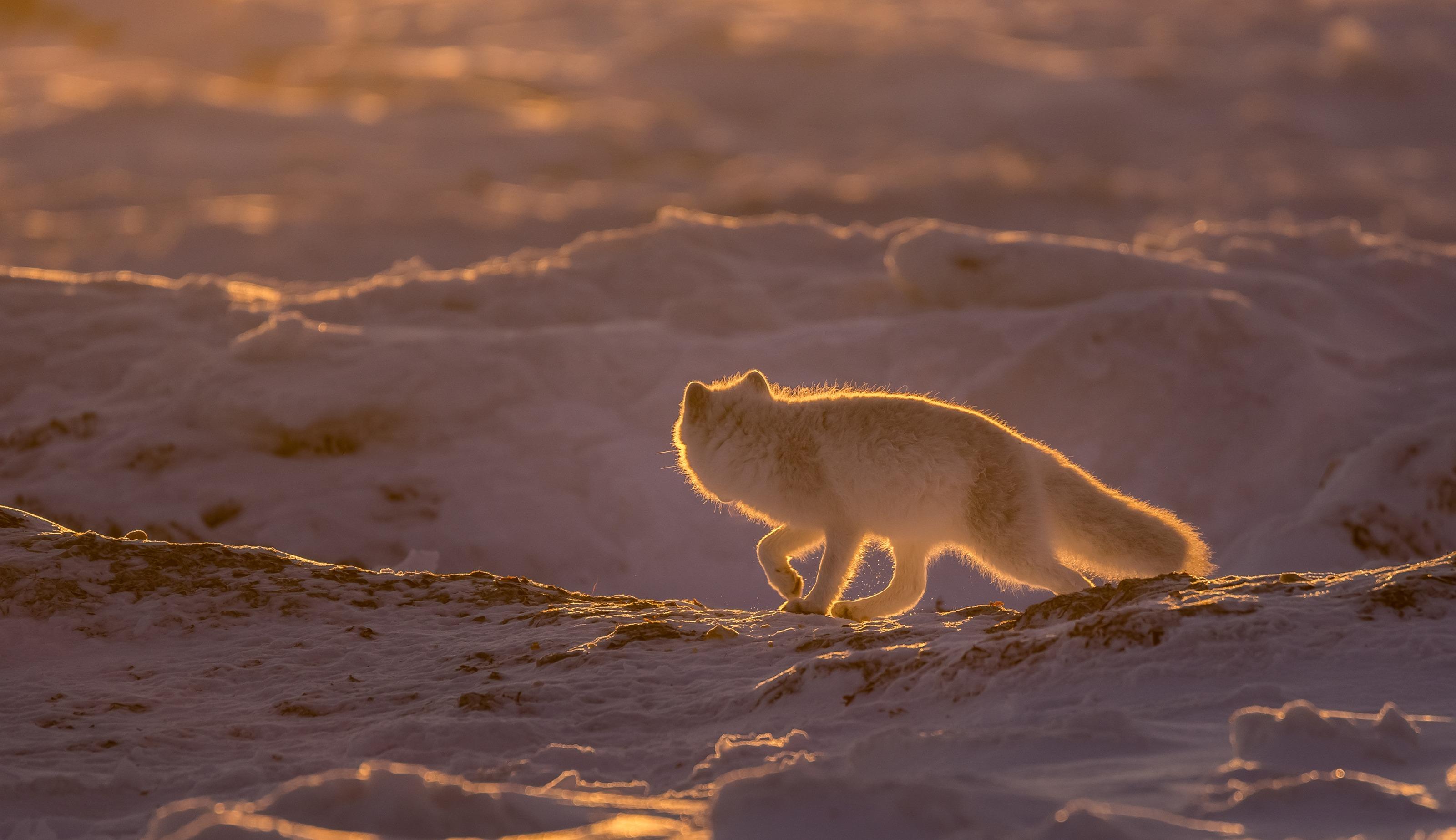 Polar Fuchs im Gegenlicht - Arktis