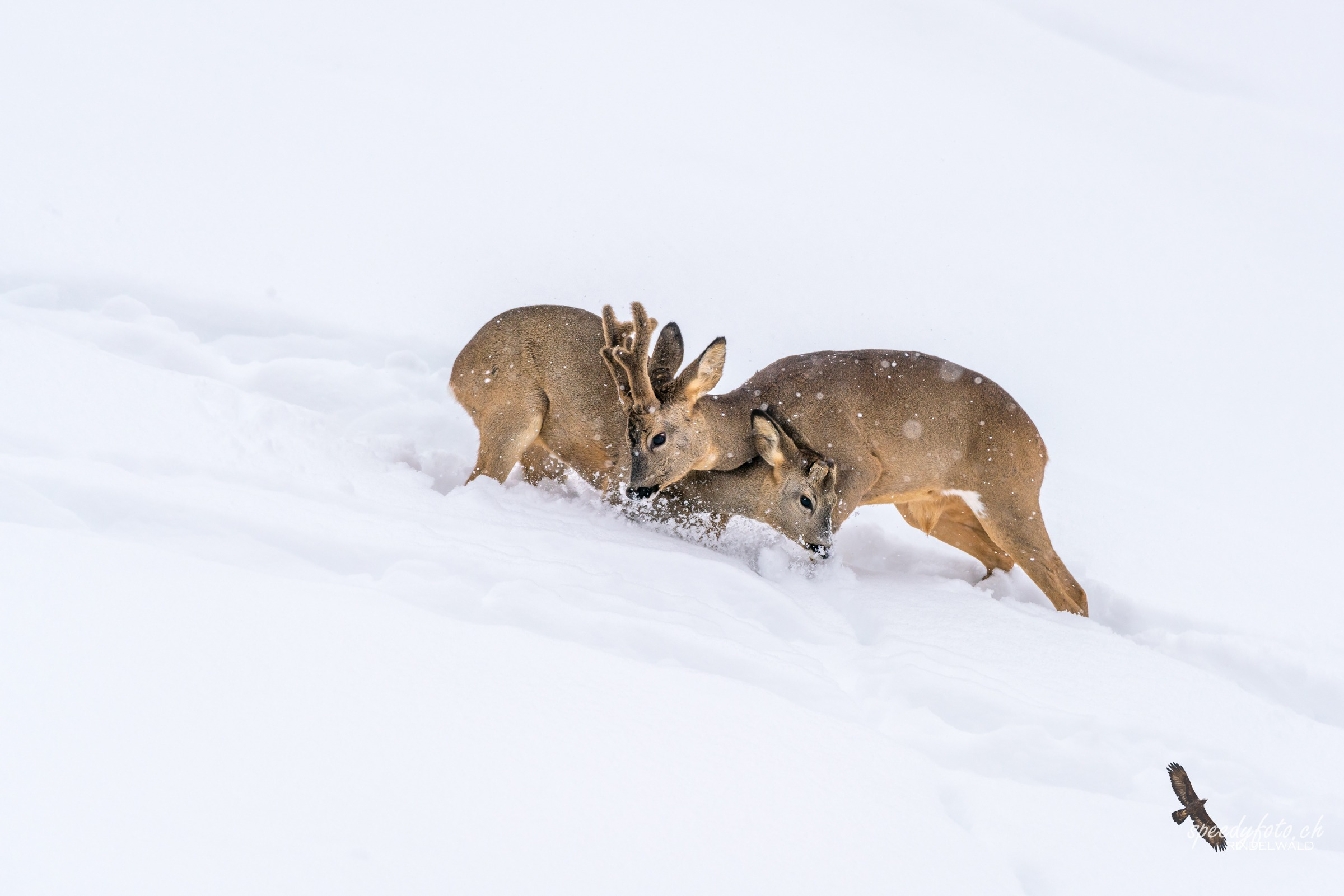 Rehe im Schnee