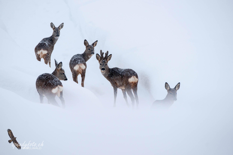 Rehe im Schneegestöber