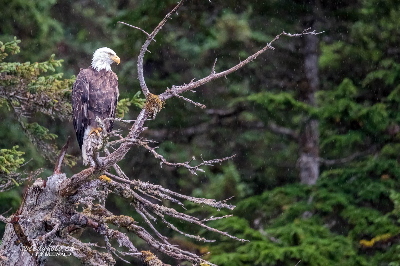 the eagle -