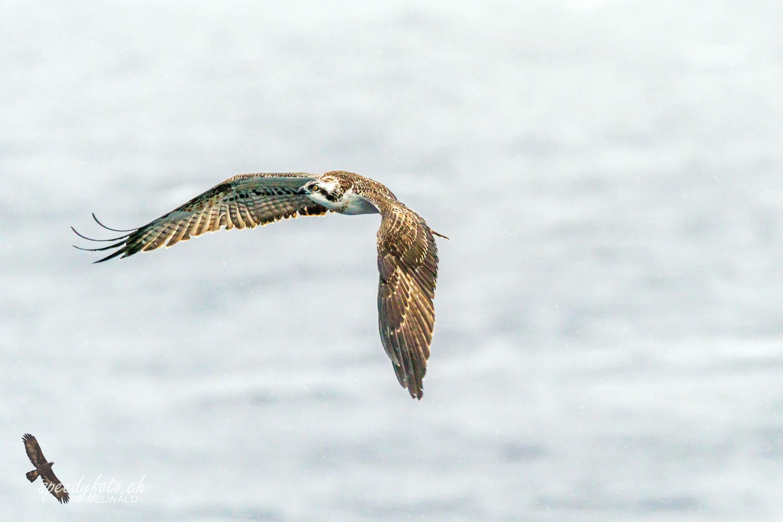 Seeadler, Osprey