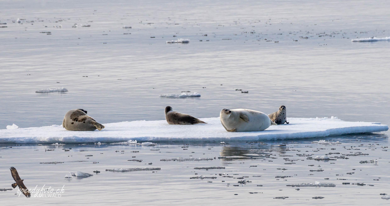 Sattelrobben, Harp Seals