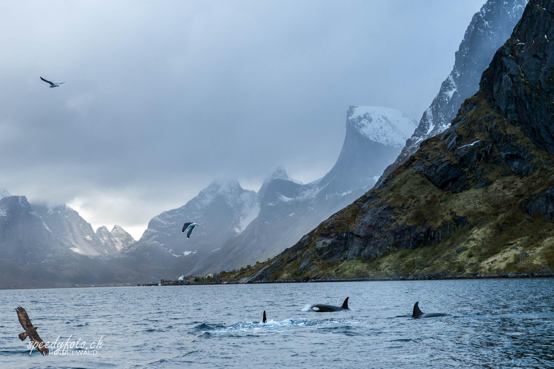 Lofoten, Orcas