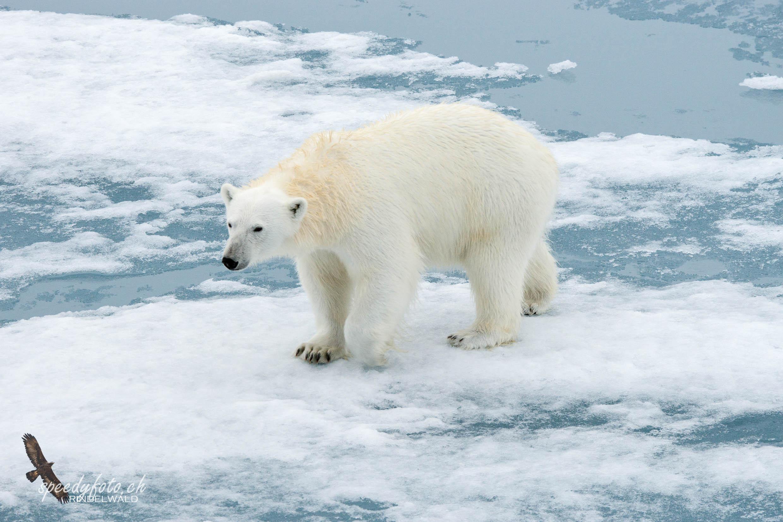 Aproaching Polar Bear