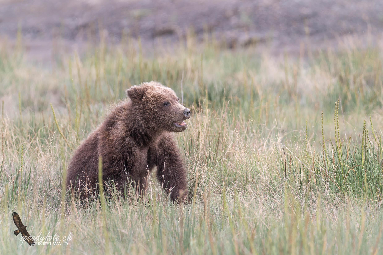 Bears - cub