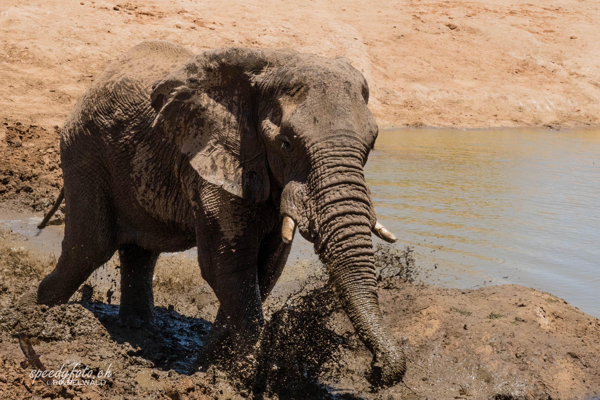 In the mud - Elephant