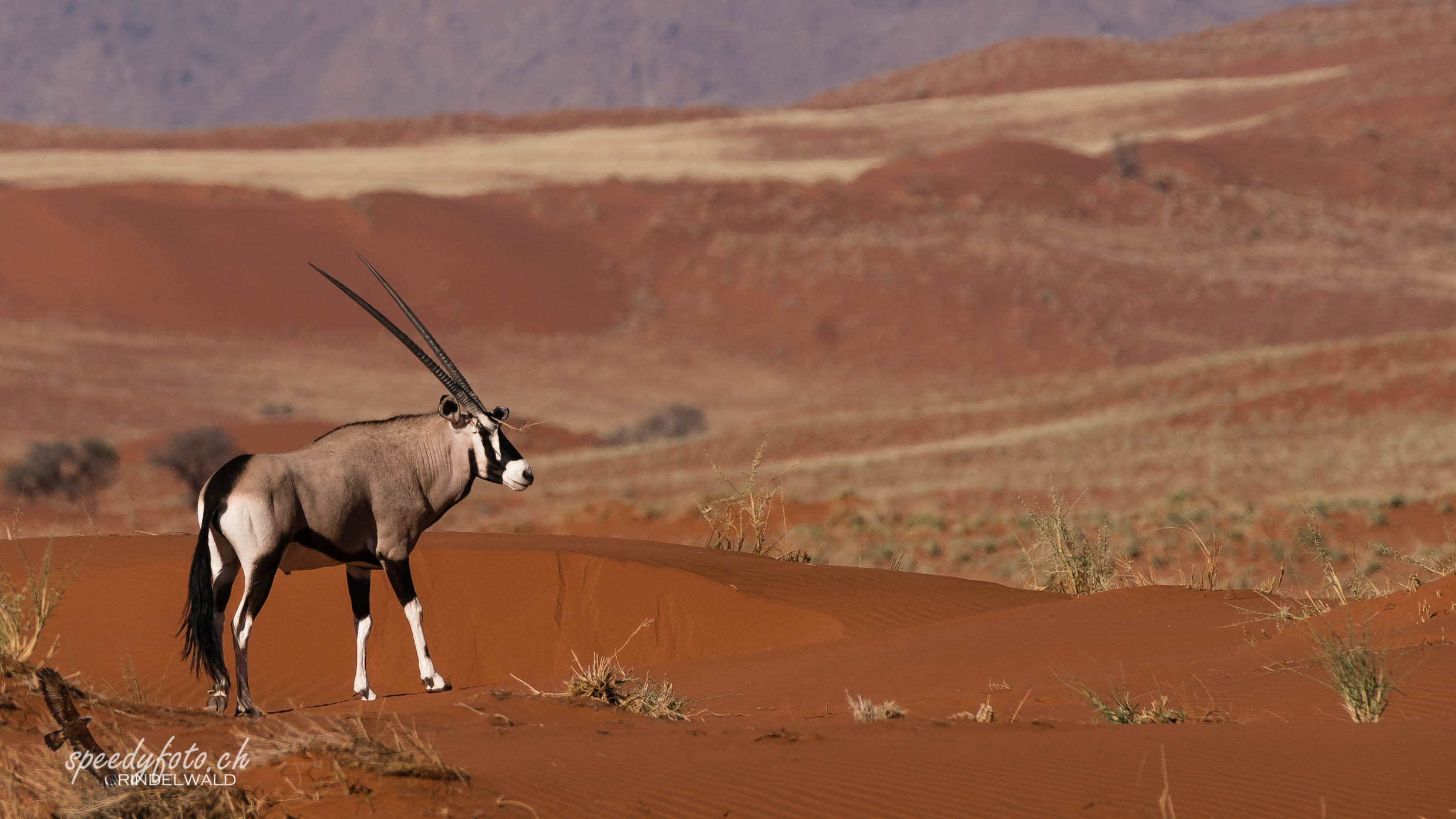 Oryx on the dune