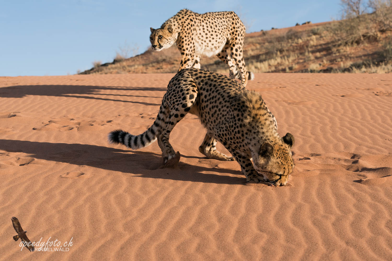 Gepard (Cheetah)