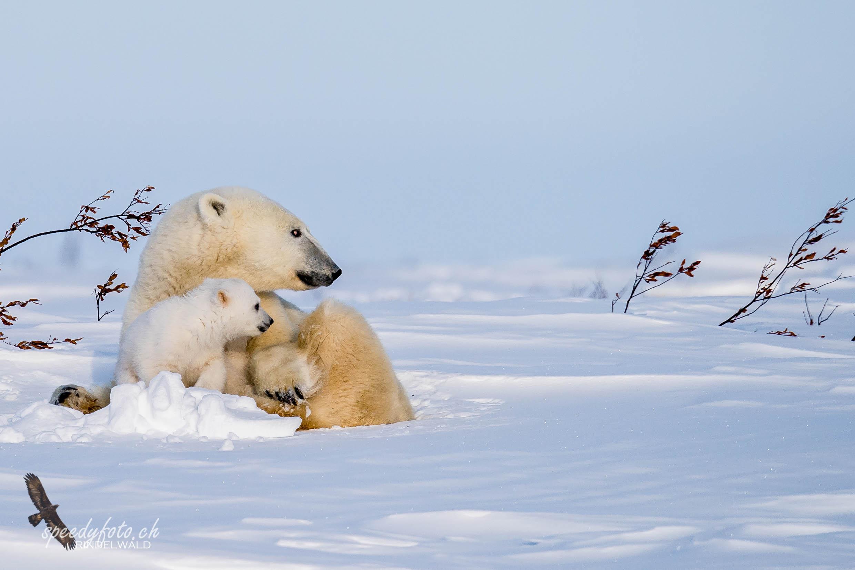 The polar bear cubs