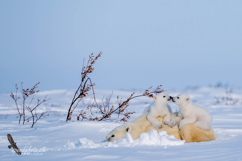 Polar Bear Cubs – 2019 Arctic Canada