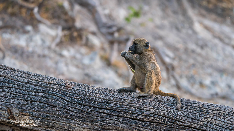 Monkey - Pavian