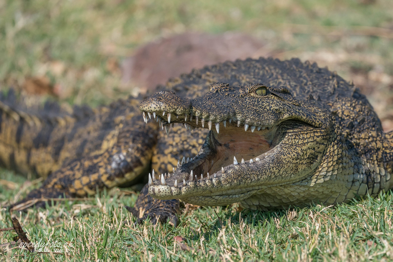 Fearing Crocodile