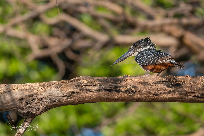 The Kingfisher 3