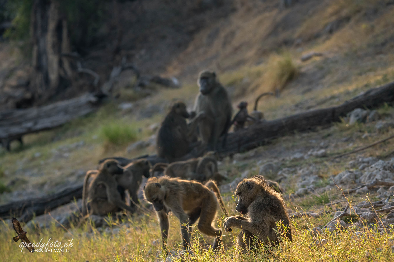 Morning Light Monkeys