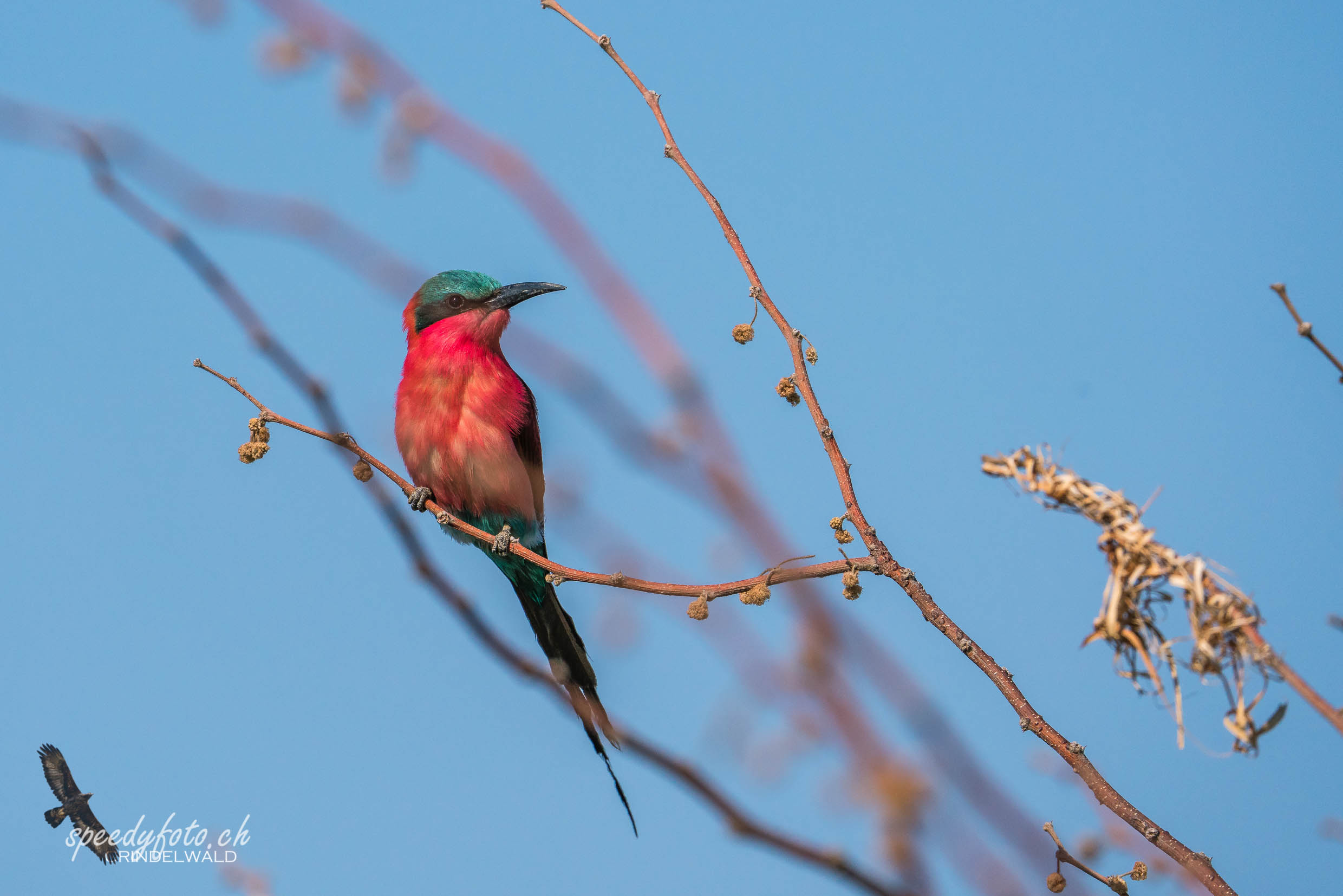 Long Tail Bee Eater