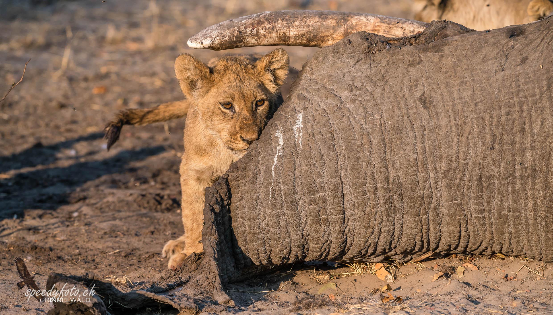 Lions Cub - with big kill