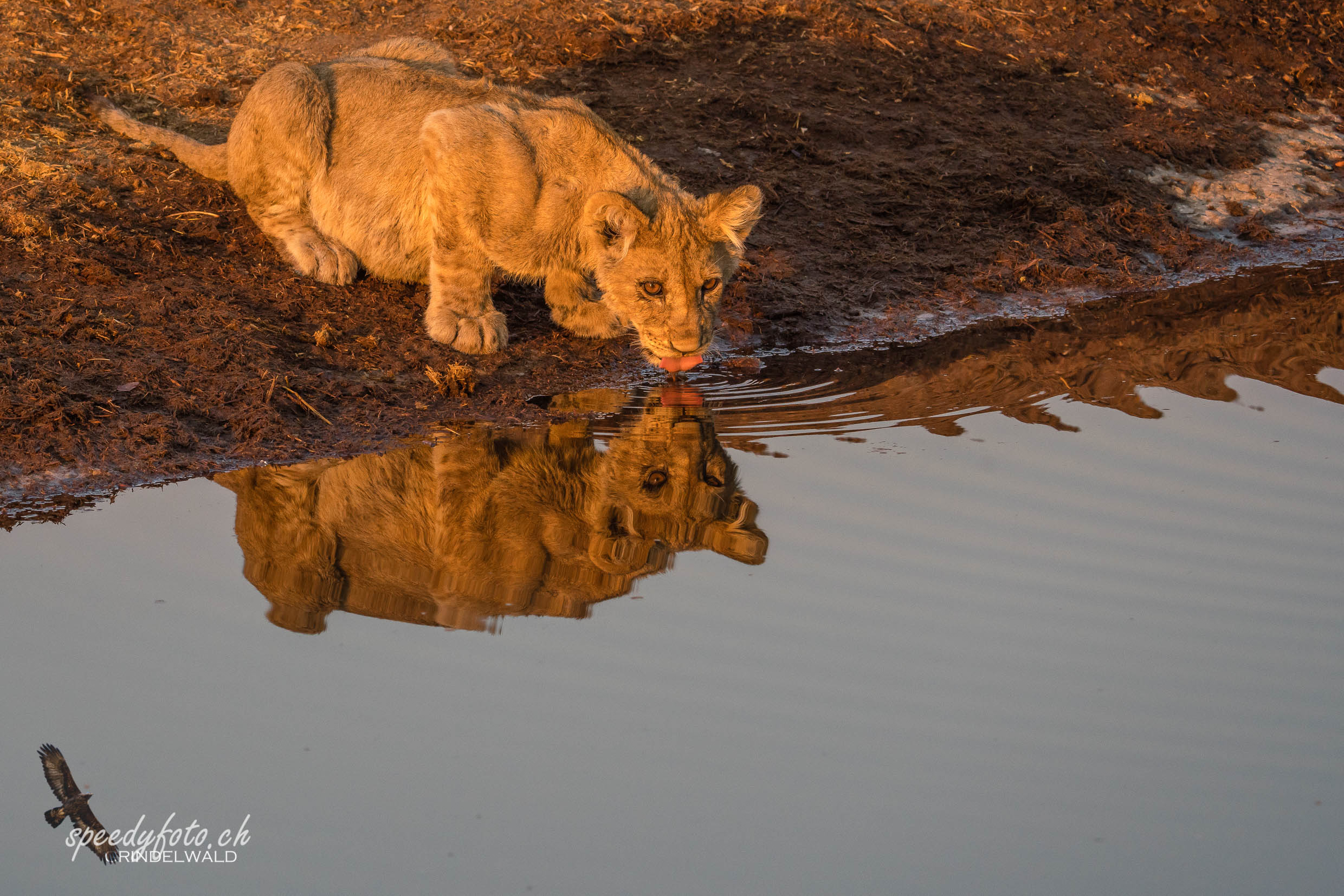 The cub in the mirror