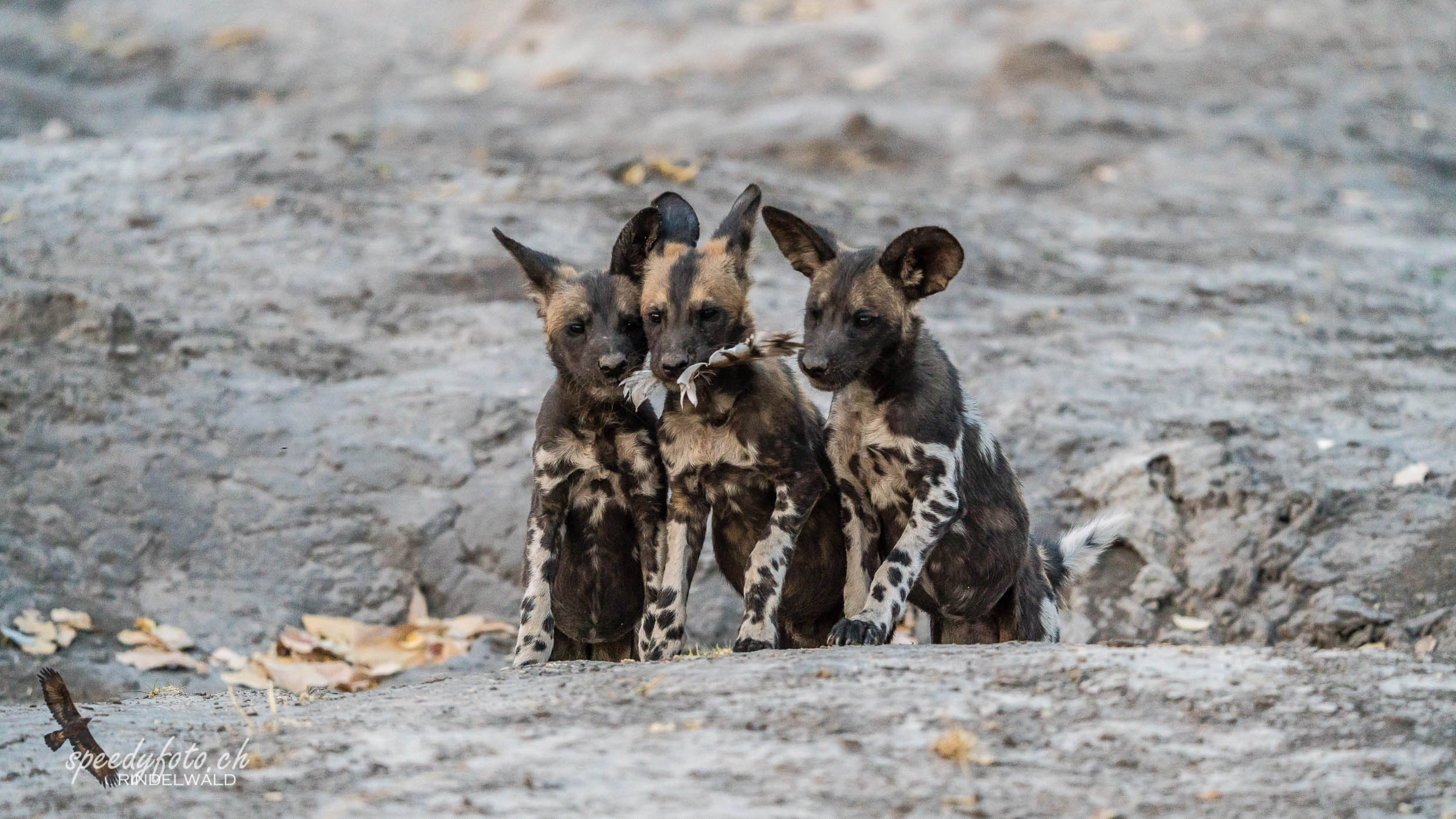 Sister Act - Wild Dog Cubs