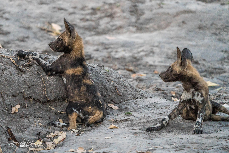 Wild Dog Cubs