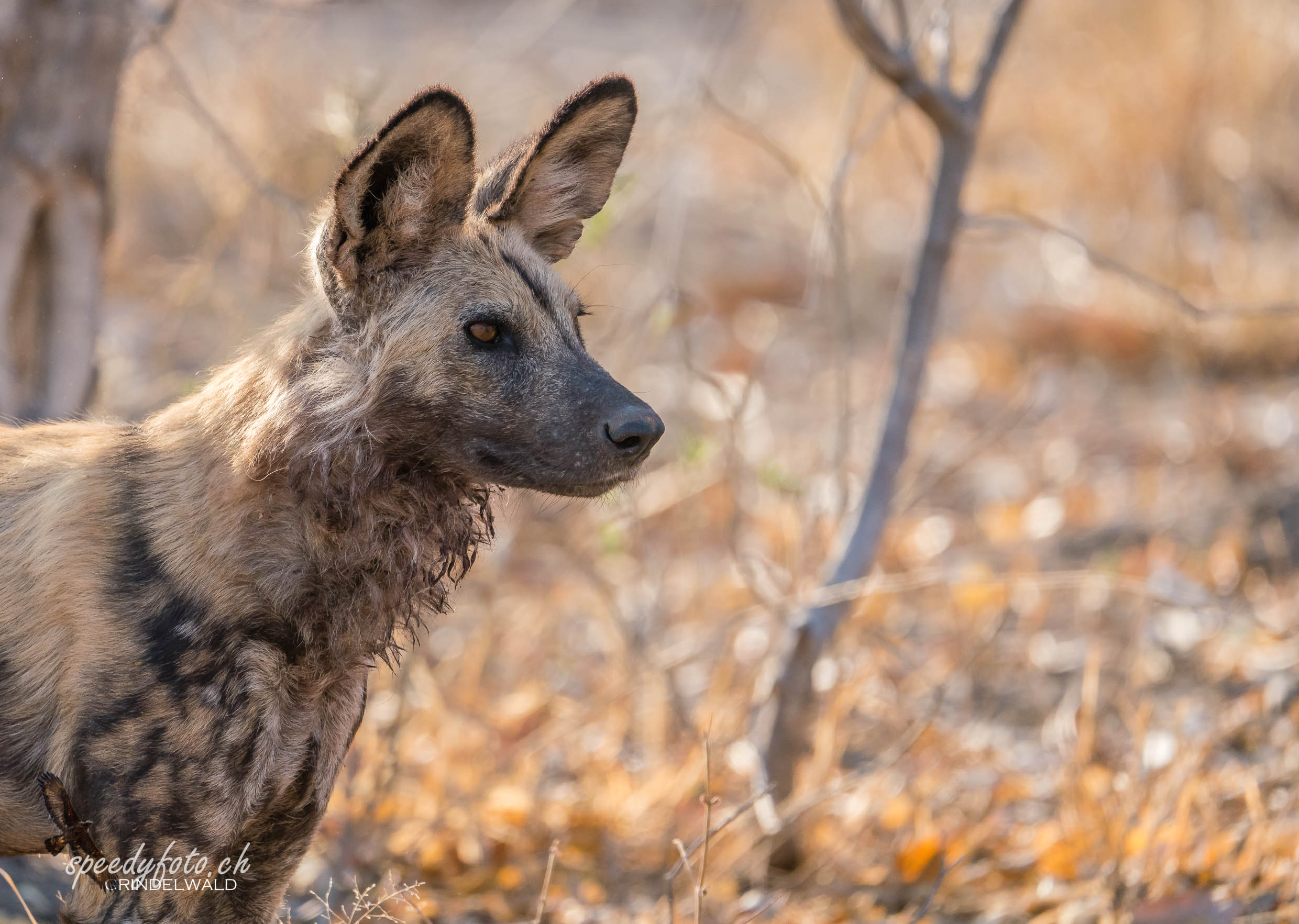 The Adult Wild Dog