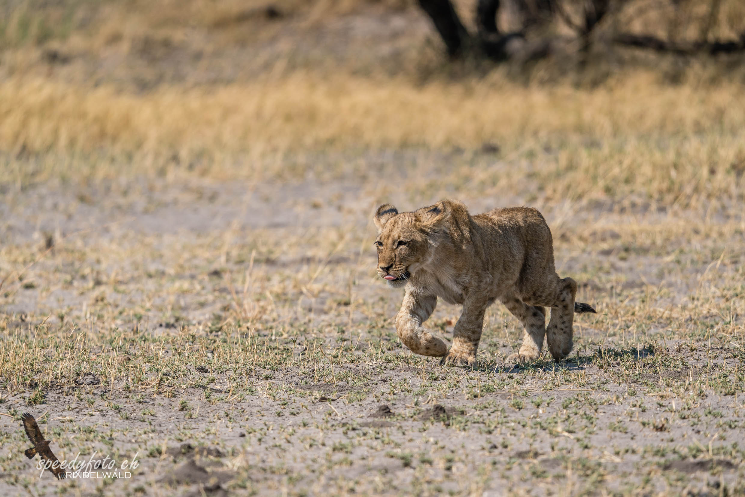 Young and wild - Lions Cub