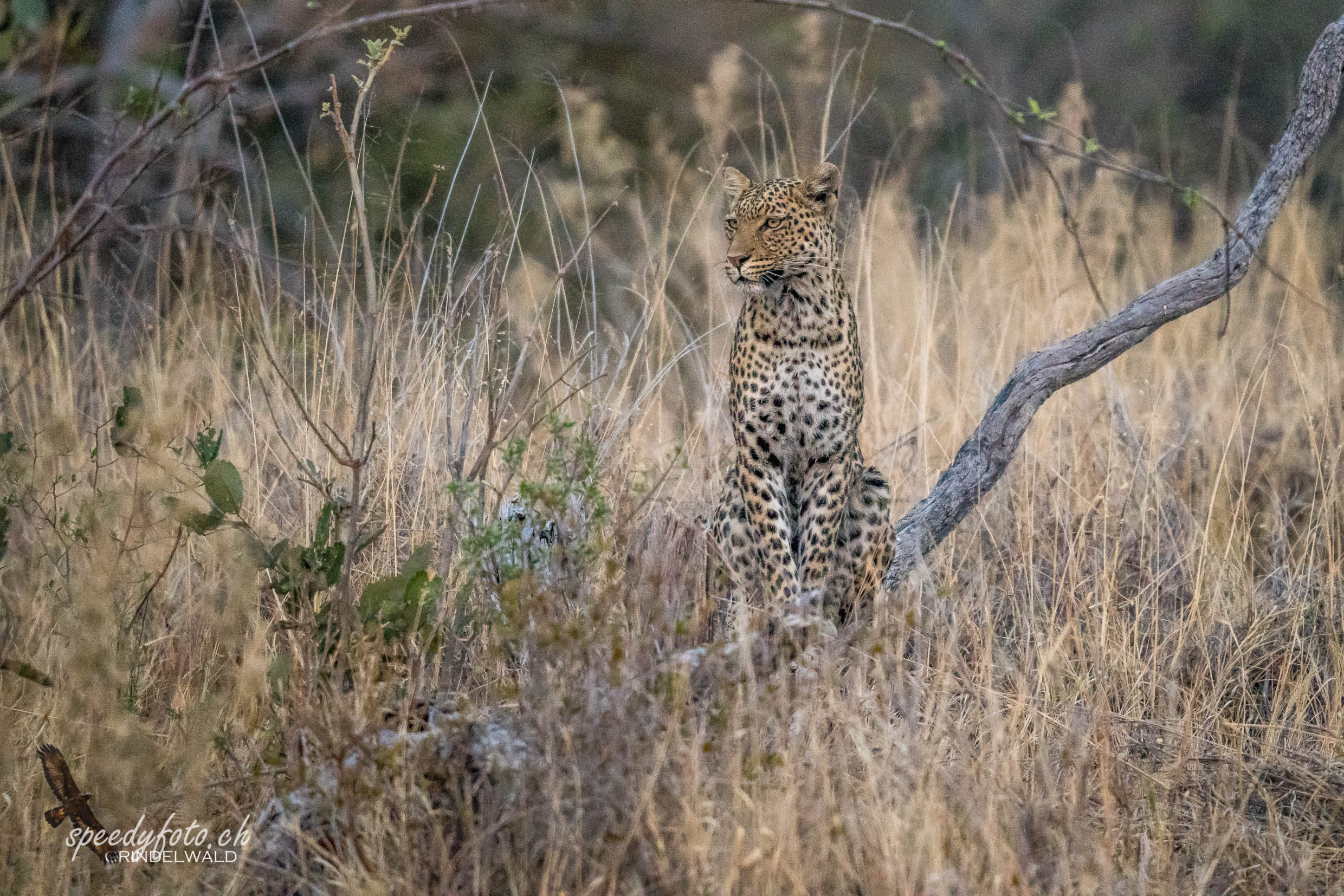 Leopard - very early Morning