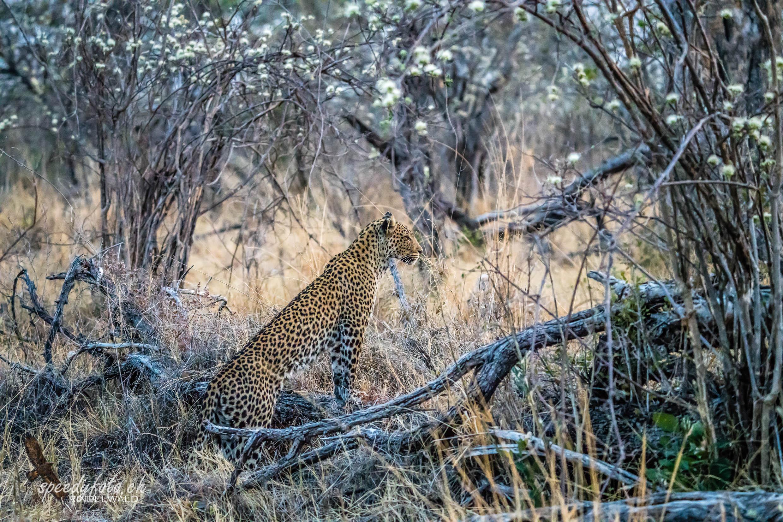 Leopard Outlook
