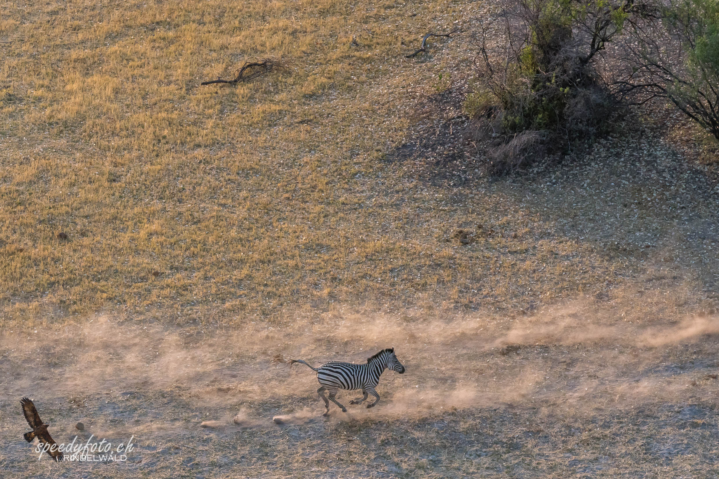 Running Zebra - Aerial View